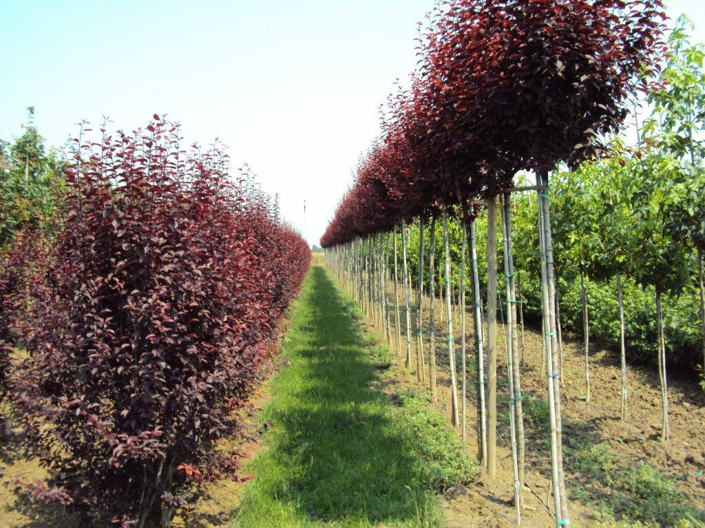 Vendita piante a bologna for Piante basso fusto da giardino
