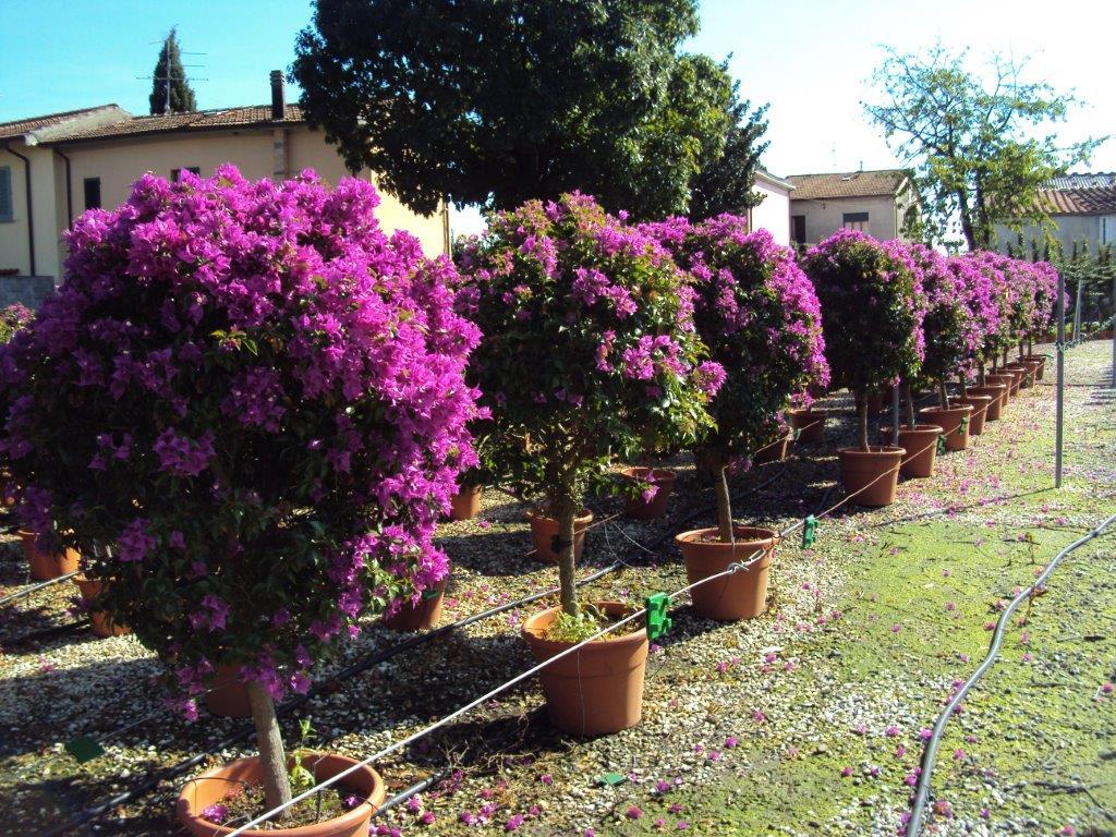 Vendita Prato A Rotoli Pistoia piante in fiore