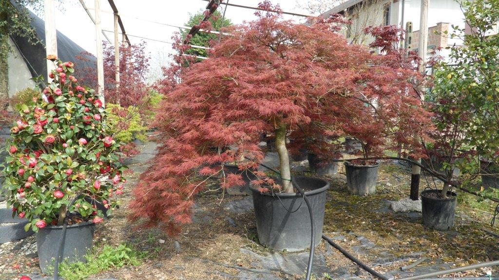 Vivaio Acero Rosso : Vivaio a bologna u vendita piante in vaso