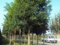 foto-celtis-sophore-liriodendri-e-gledissie-005